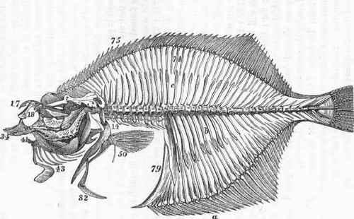 Flat Fish Skeleton