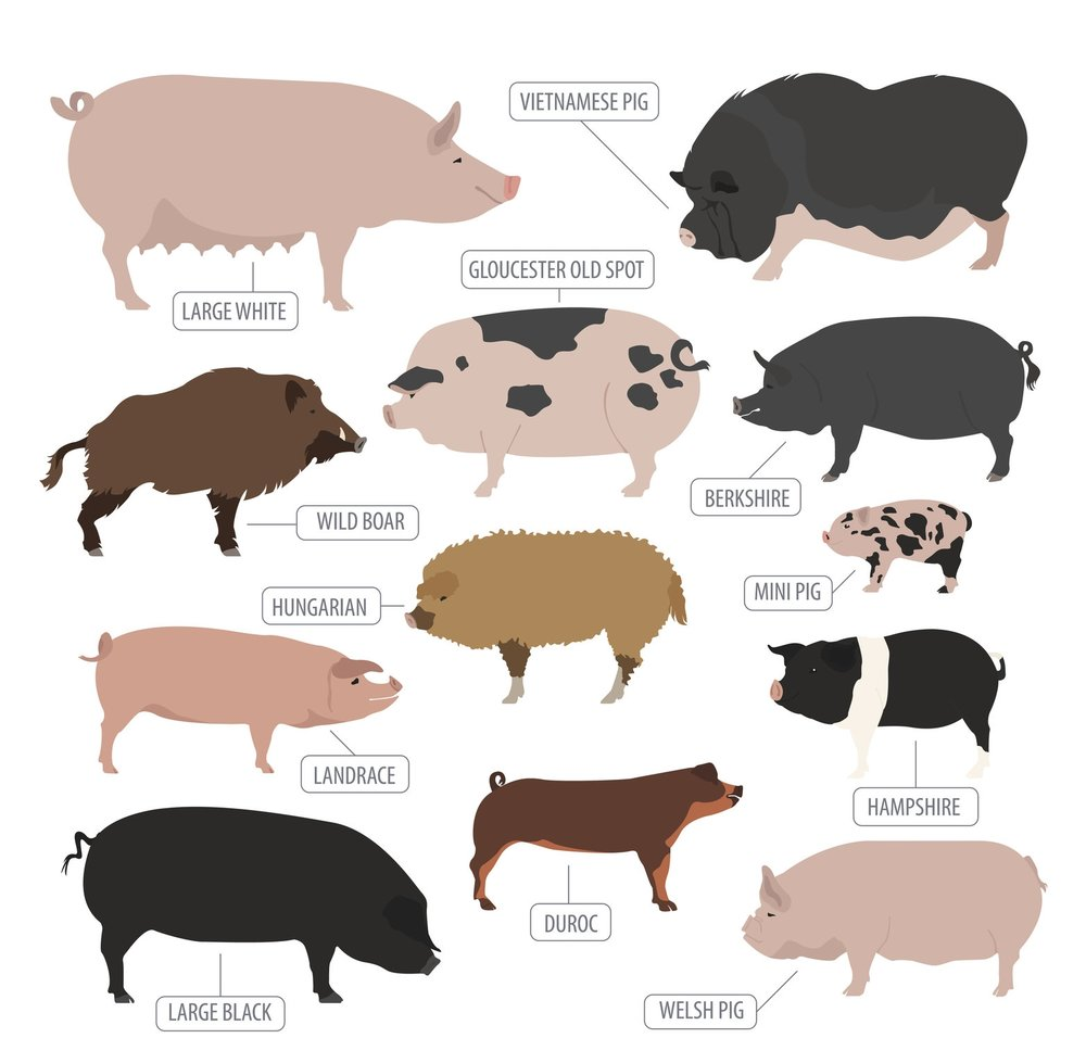 Animal farming pigs_6.jpg