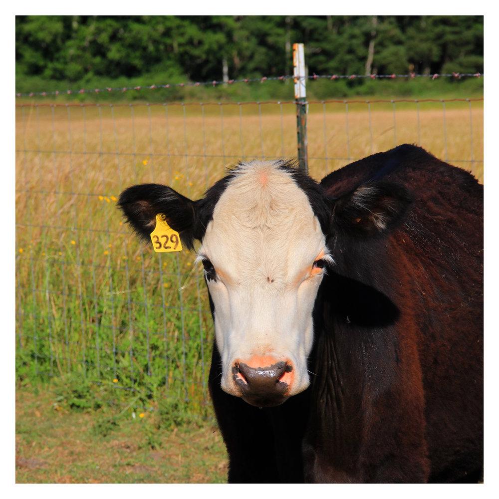 cow_1.jpg