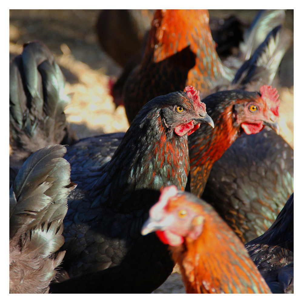 chicken_03.jpg
