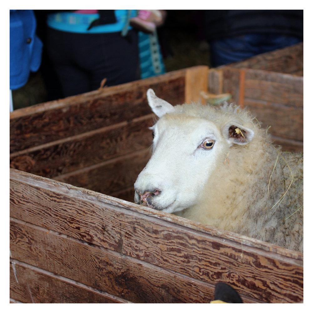 sheep_03.jpg
