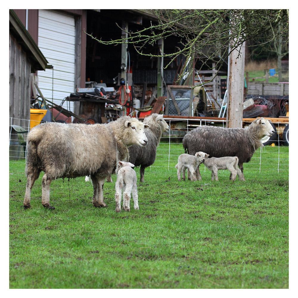 sheep_04.jpg