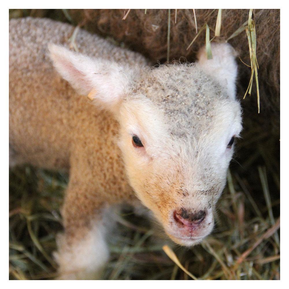sheep_06.jpg