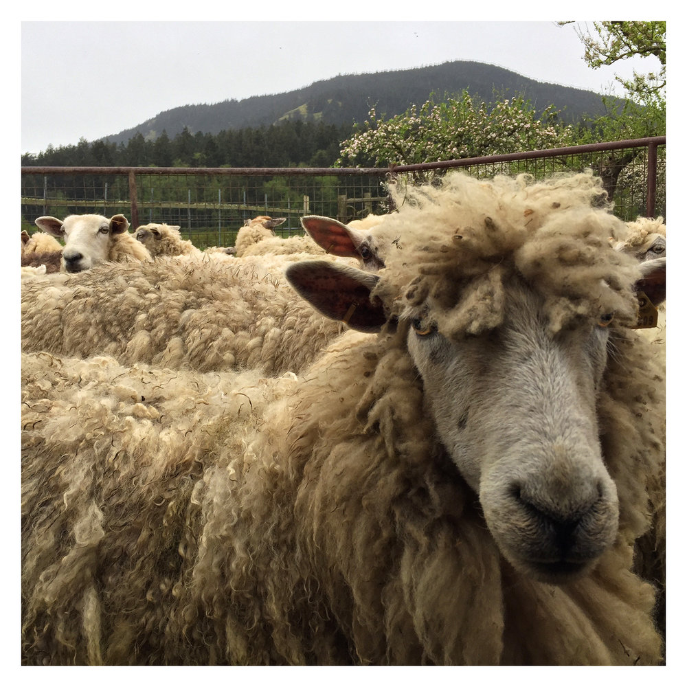 sheep_09.jpg