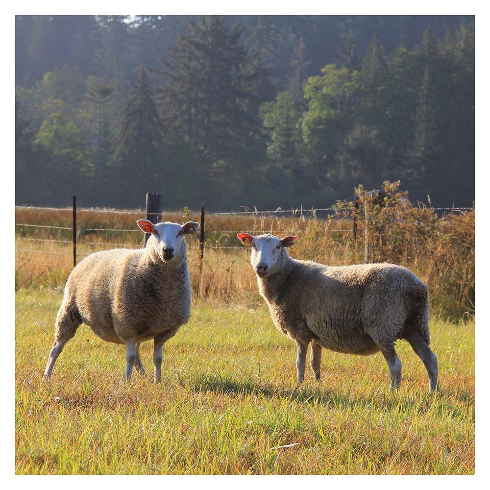 sheep_10.jpg