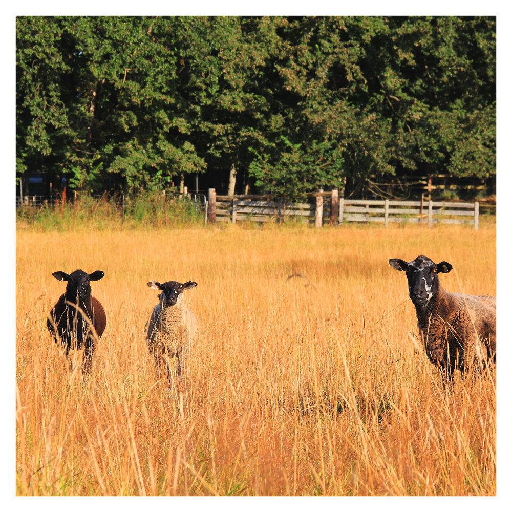 sheep_11.jpg