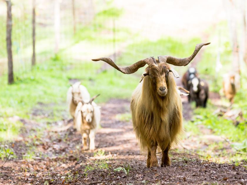 chianti-cashmere-goat-farm-81.jpg