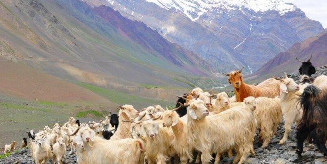 Cashmere-Goats-Himilayas-668x336.jpg