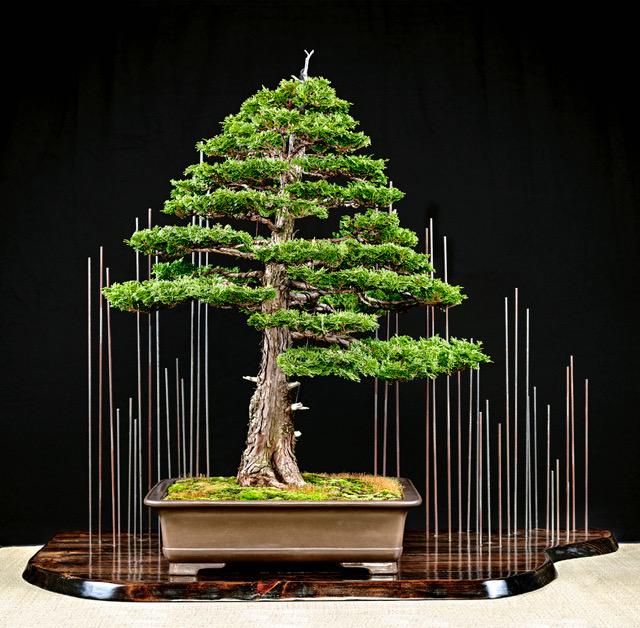 Hinoki display from the Winter Bonsai Silhouette Expo 2016