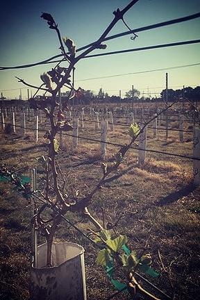 enchanted vineyards 3.png