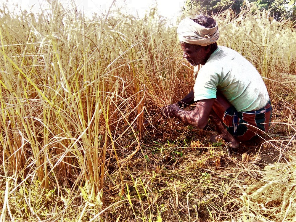 A man harvesting paddy in his field. Credit: Zaheeb Ajmal