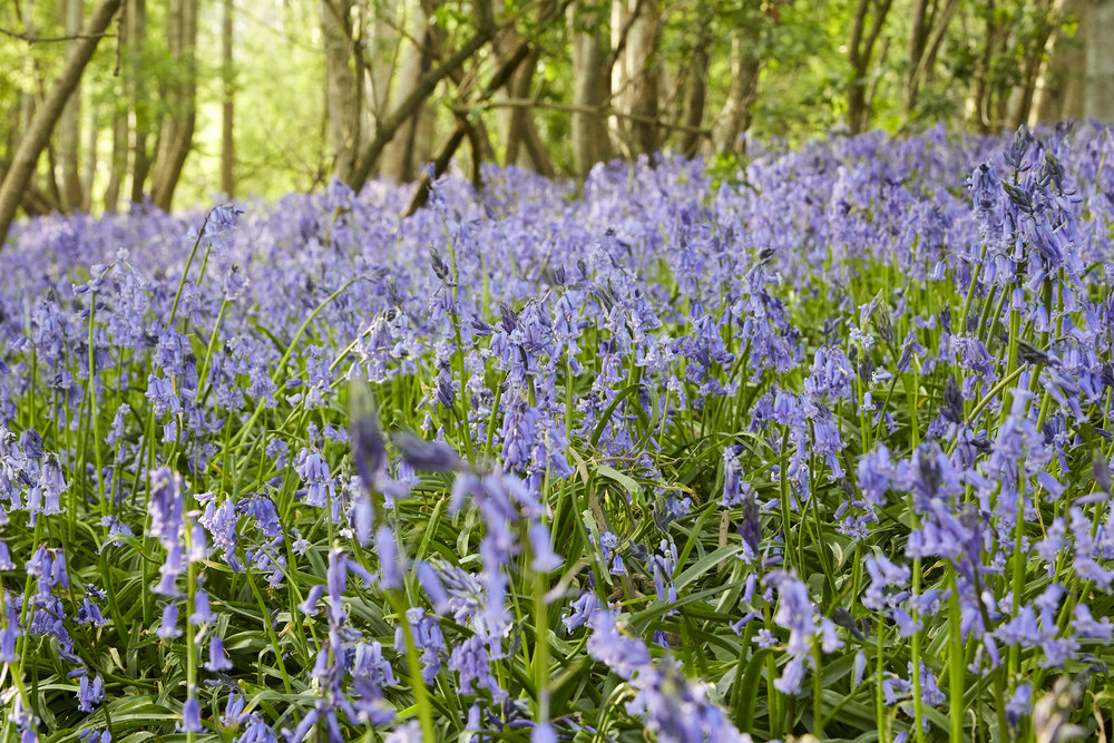 Bluebells at the Shepherds Hut Rye East Sussex