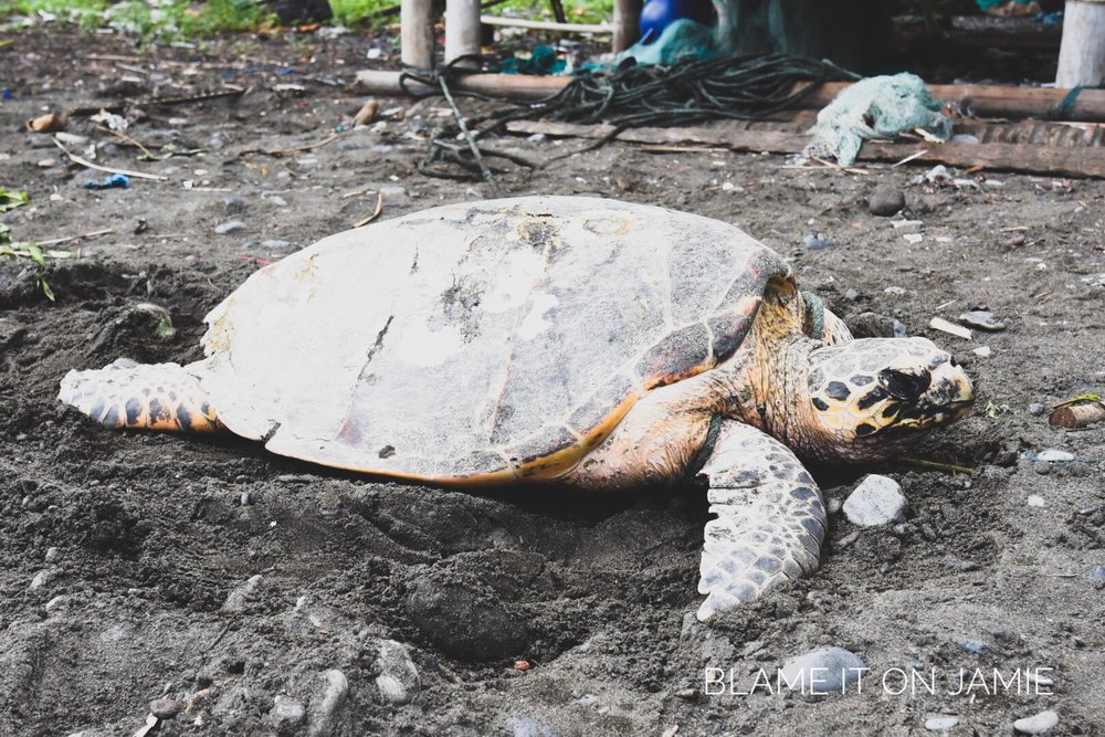 Tortoise - Bali | 290117