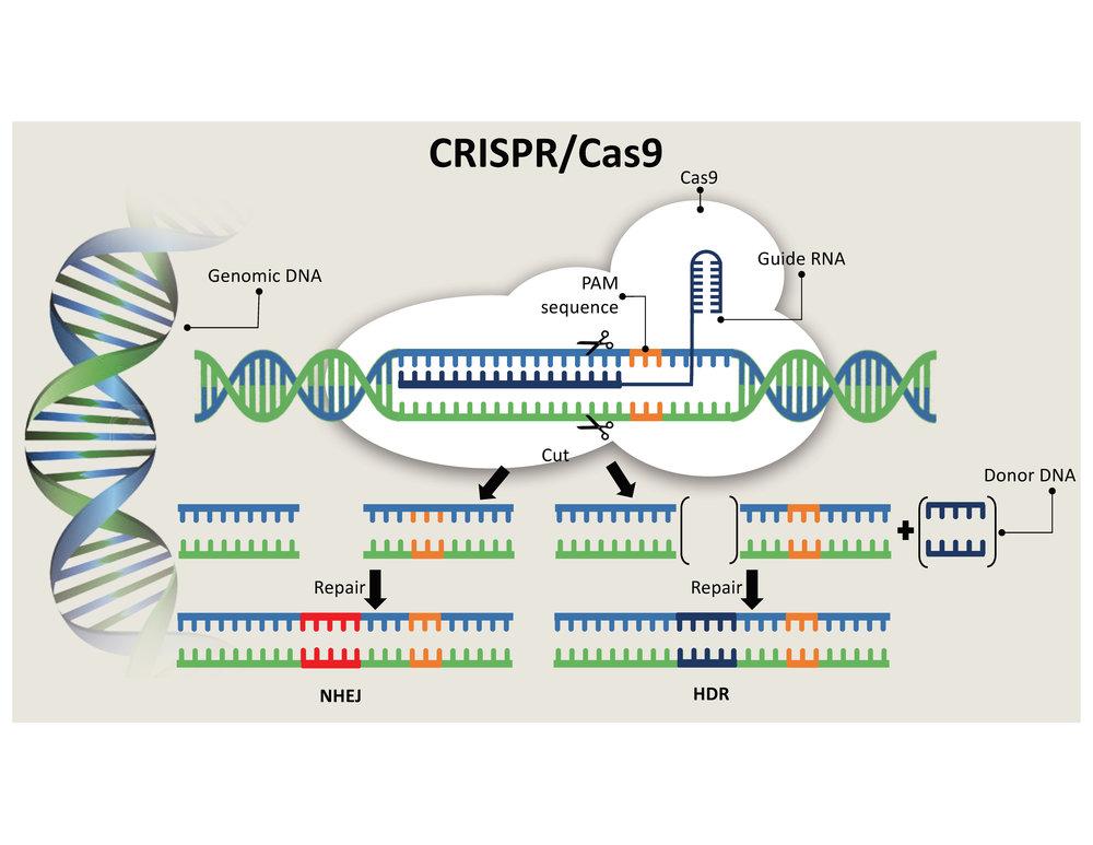 CRISPR:Cas9.jpg