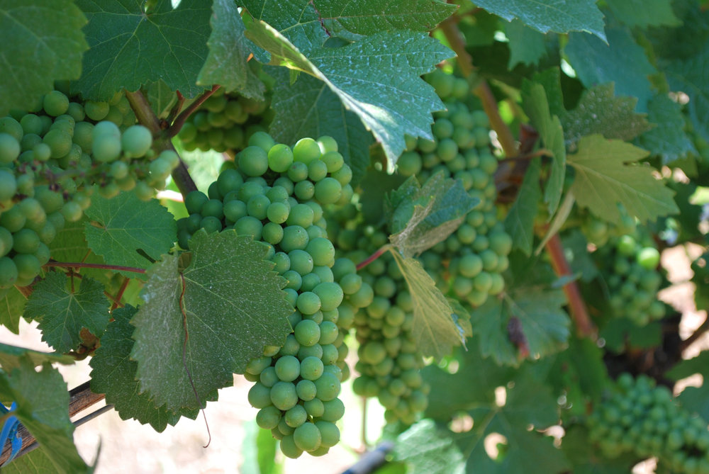 Momtazi Vineyard Grapes Aug 2016.jpg