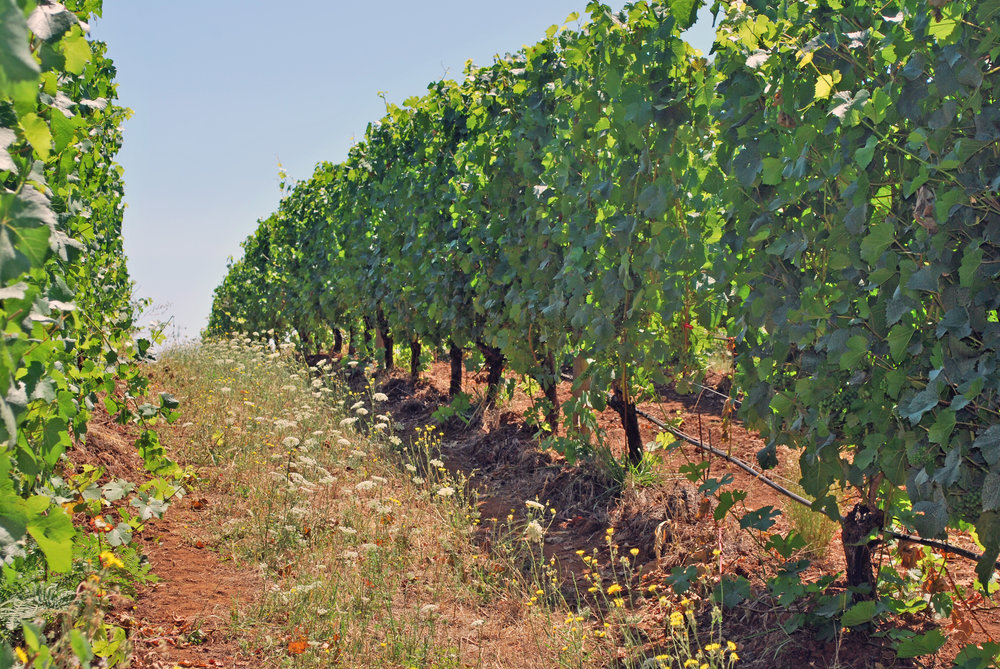 Momtazi Vineyard Row Aug 2016.jpg