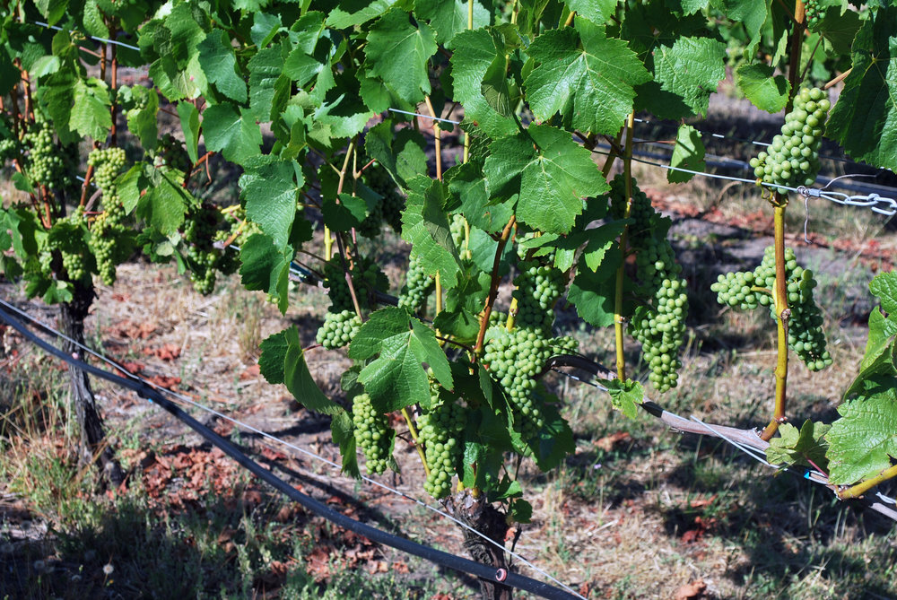 Holmes Gap Vineyard Grapes Aug 2016.jpg