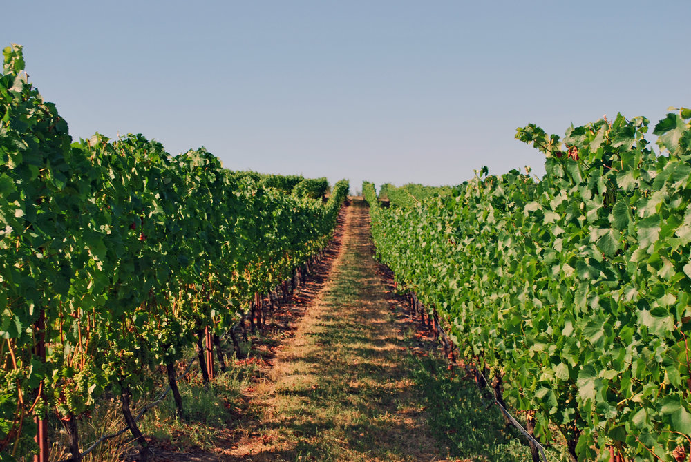 Holmes Gap Vineyard Row Aug 2016.jpg