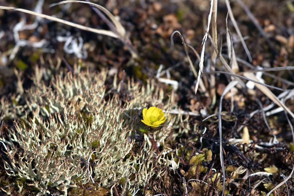 Arctic buttercup (Ranunculus grayi).jpg