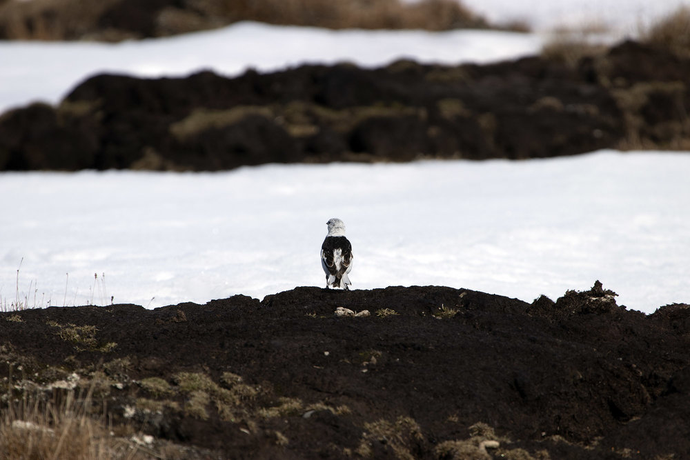 Snow bunting in Arctic