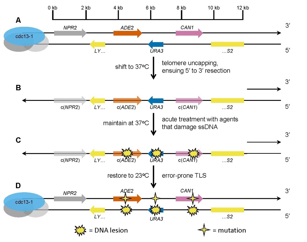 A.  Three reporter genes (ADE2, URA3, and CAN1) are embedded near a telomere in a cdc13-1 haploid yeast background. B.  Shifting to 37 degrees destabilizes the Cdc13-1 mutant protein, resulting in loss of the protective proteinaceous capping structure at the telomere.  The uncapped telomere is recognized as a DNA double-strand end, which is enzymatically resected to generate a long single-strand DNA (ssDNA) overhang. C.  Exposure to a test mutagen/carcinogen creates damage lesions in the exposed ssDNA. D.  Restoration to 23 degrees triggers re-synthesis of double-strand DNA.  Specialized error-prone translesion synthesis (TLS) polymerases create mutations opposite the lesions.  Clusters of mutations that inactivate more than one reporter gene can be selected by plating on the appropriate media.