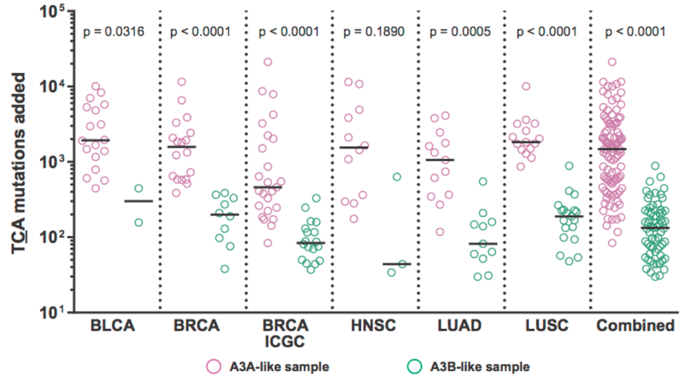 Estimated numbers of APOBEC signature TCA mutations in A3A- and A3B-like cancer samples are shown from the following types:  bladder carcinoma (BLCA); breast carcinoma (BRCA); head and neck squamous cell carcinoma (HNSC); lung adenocarcinoma (LUAD); lung squamous cell carcinoma (LUSC); and all of these cohorts combined.  p-values are from Kolmogorov-Smirnov tests.  From Chan et al., Nature Genetics 2015.