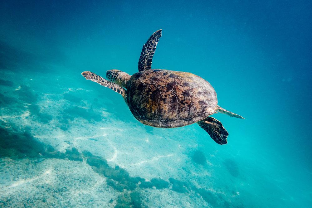 SeaTurtle-Oman-Turtle-Underwater-Blue-Ocean-Reef