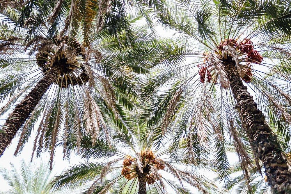 Palms-DatePalm-Trees-Tradition-Village-Oman-Daniel-Durazo-Photography-Durazophotography
