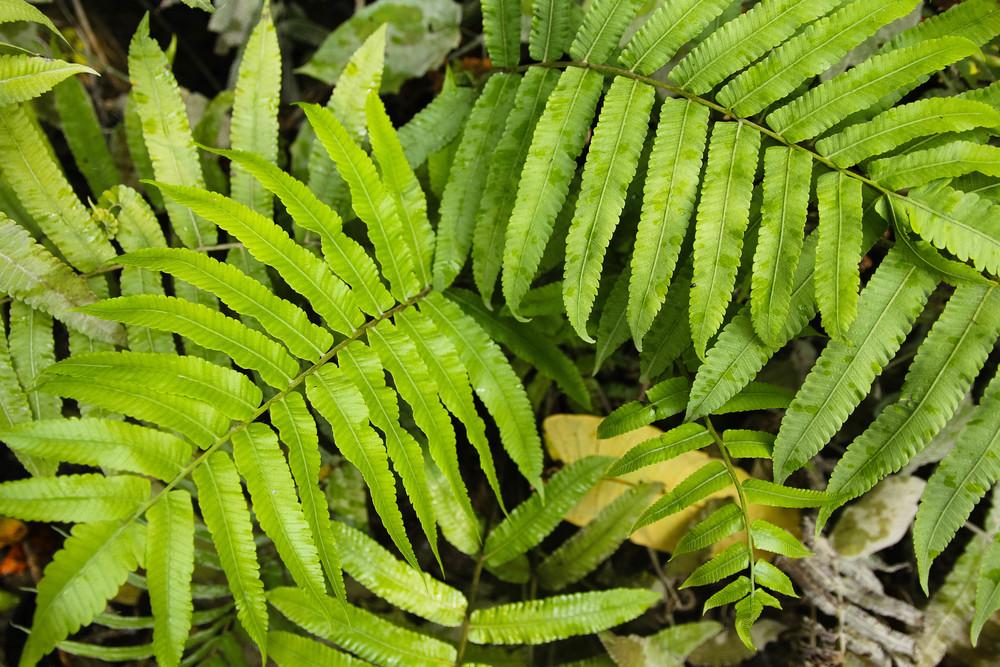 Chiang Mai Thailand Sticky Falls Bua Thong ferns