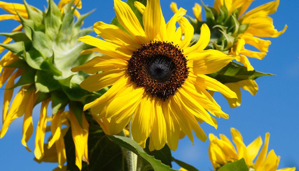 Stanislav stajer - garden sunflowers