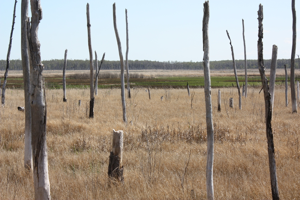 Ghost forest in spring, Blackwater National Wildlife Refuge