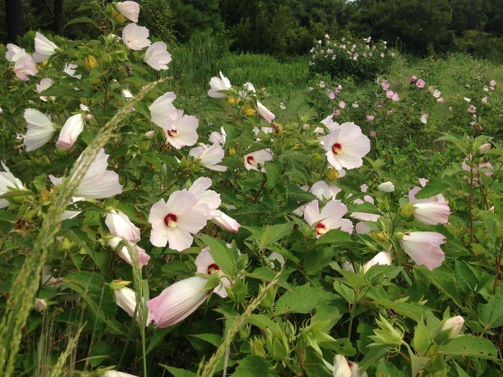 Marsh Hibiscus.JPG