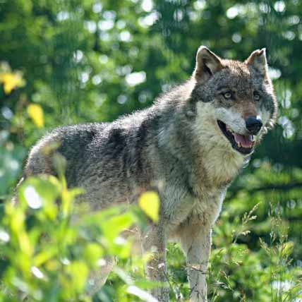 Wolves are 99.8% the same as your domesticated dog. They need to eat the same things!