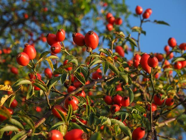 rose-hip-693899_640.jpg