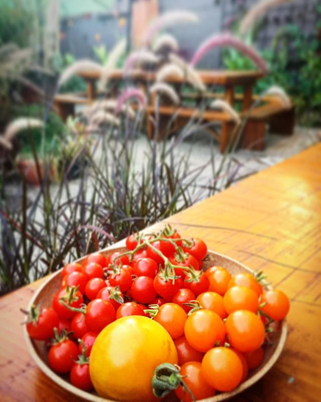 Our first #harvest of #tomatoes from the #RooftopGarden at #VagabondPDX. Look for these #delicious #fruit in an upcoming #dinnerspecial or maybe a #salad at #brunch! • • • • • • #patio #patiogarden #growyourown #harvest2017 #vegetablegarden #vegetables #veggies #yard #backyard #backyardgarden #kitchengarden #restaurantgarden #restaurant #pdxeats #diningout #dinnerout #yummy #yummyfood • • • • Many thanks to gardener @pseudotsugapdx