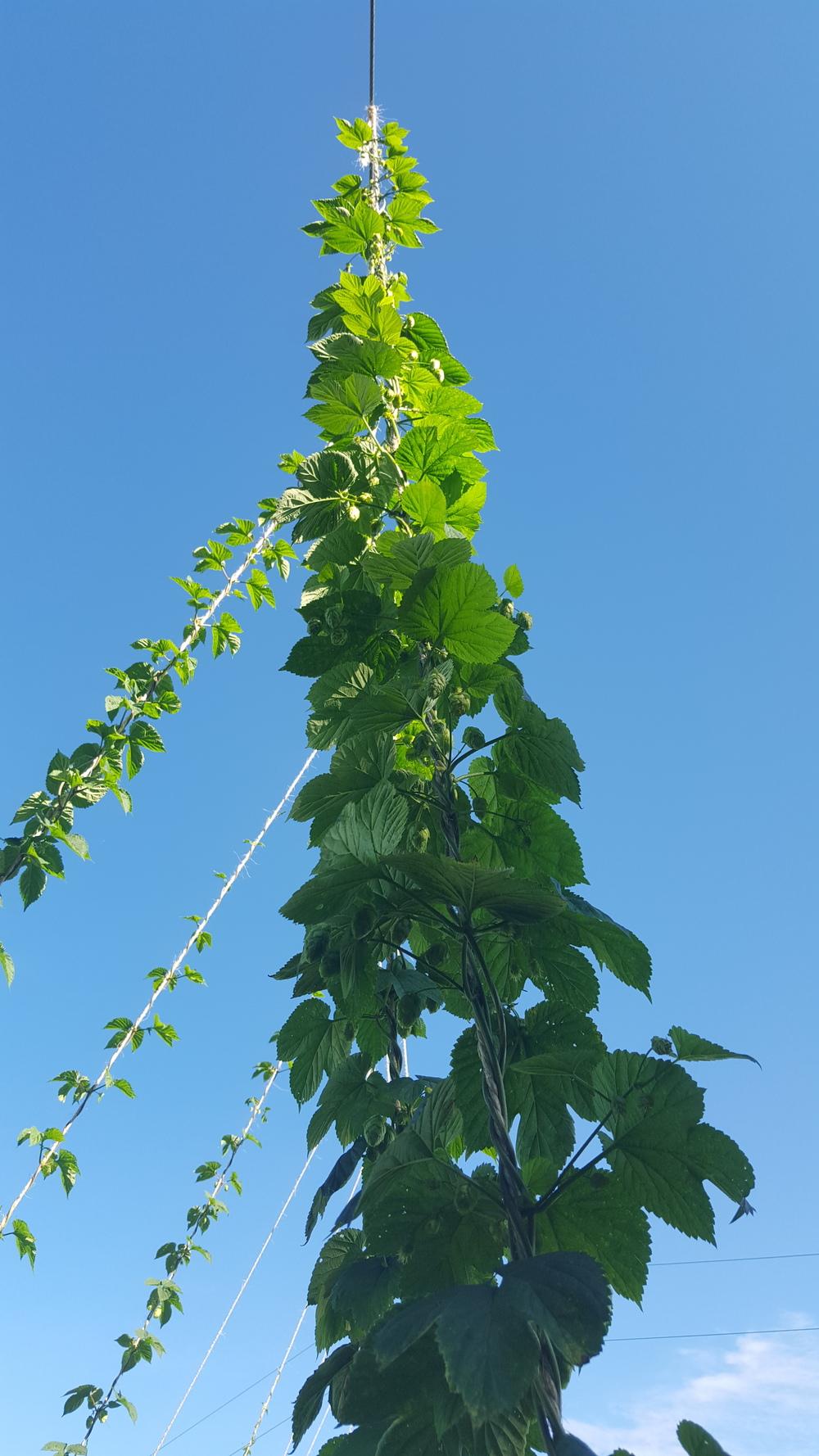 hops climbing