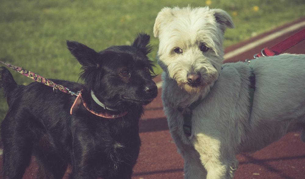 Perros mestizos