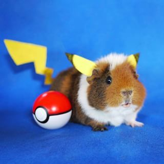 Pokemon Cavy.JPG