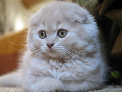 scottish-fold.jpg