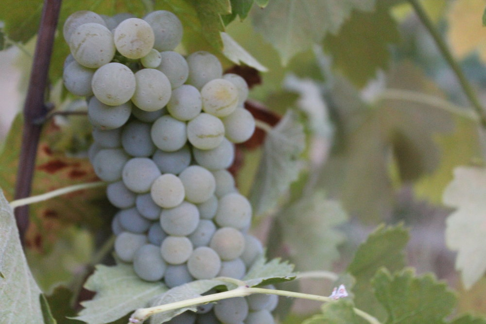 JONQUILLE - Up nestled in the foothills of the Sierra Mountains lies a vineyard on a steep slope, tucked into the landscape.The viognier for the 2016 JONQUILLE bottling comes from this vineyard.Read more....