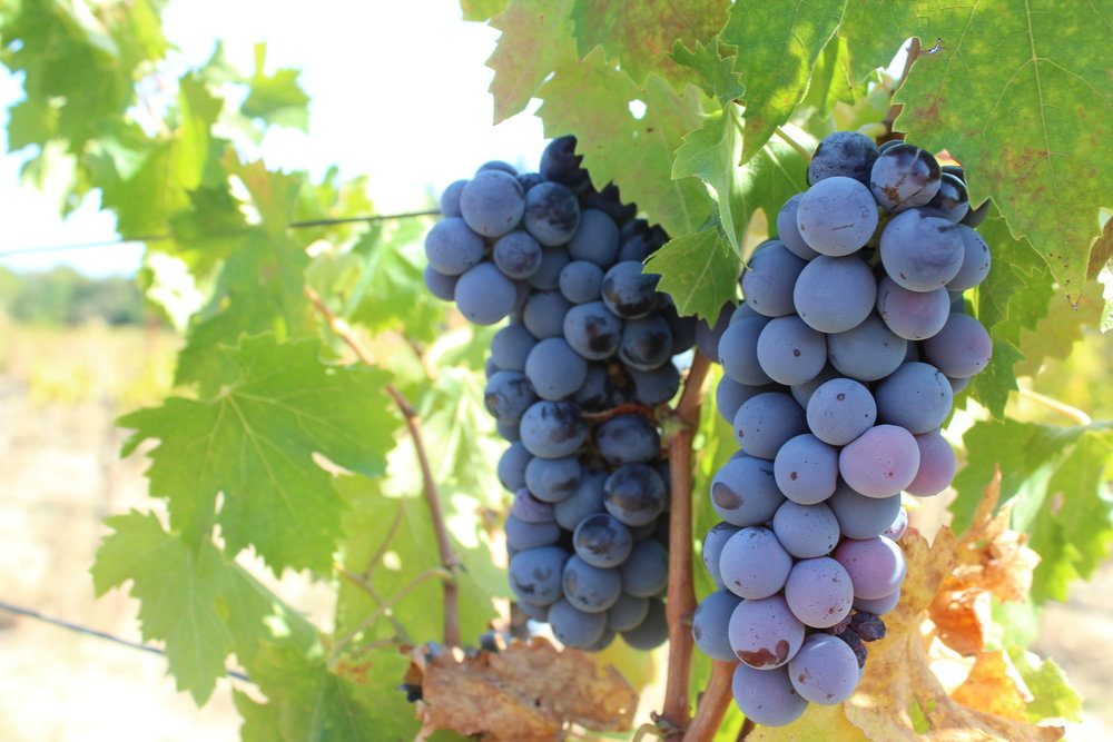ANTONELLA - In the Dry Creek Valley, varietals of Italian descent have been making a resurgence. Across the valley, one can find pockets of them, and in 2016, three were picked the blend for the ANTONELLA Read more...