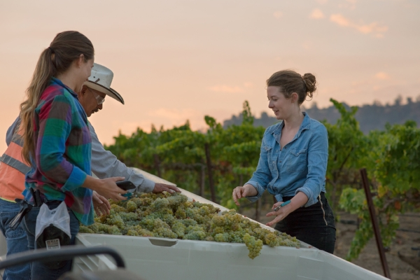 Picking Viognier at sunrise