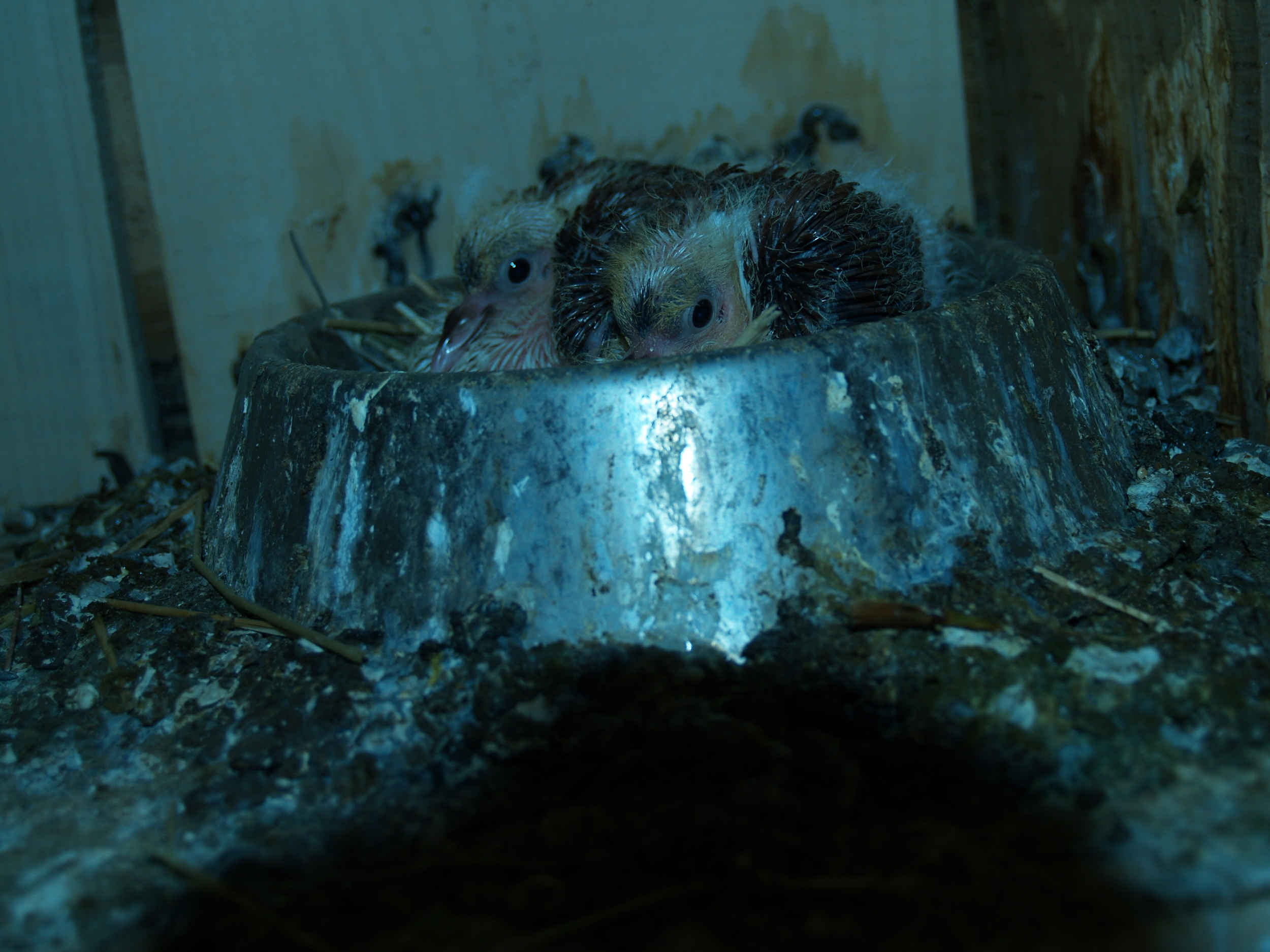 new born pigeons... messy nest!