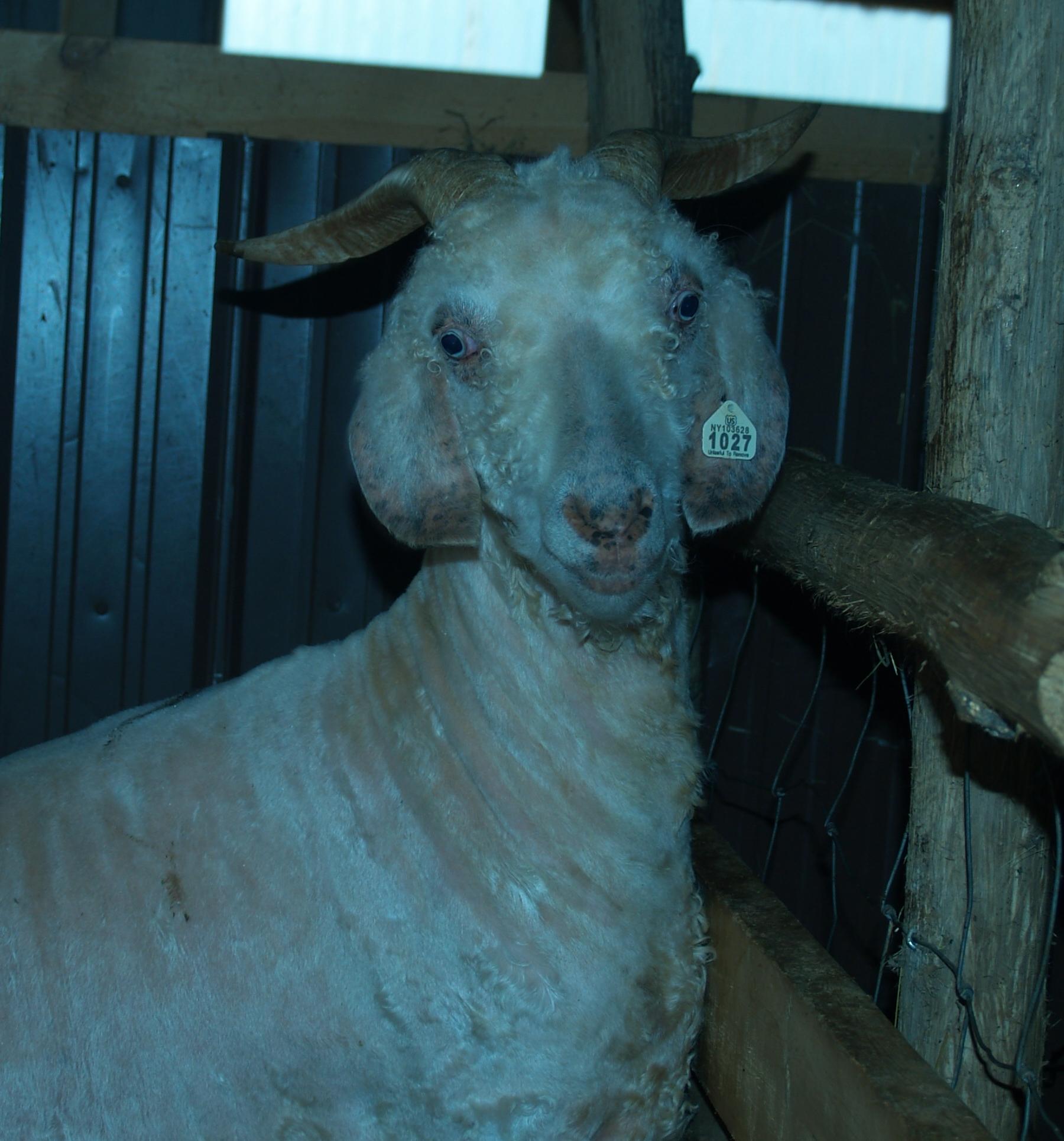 just a little goat porn... naked frankie