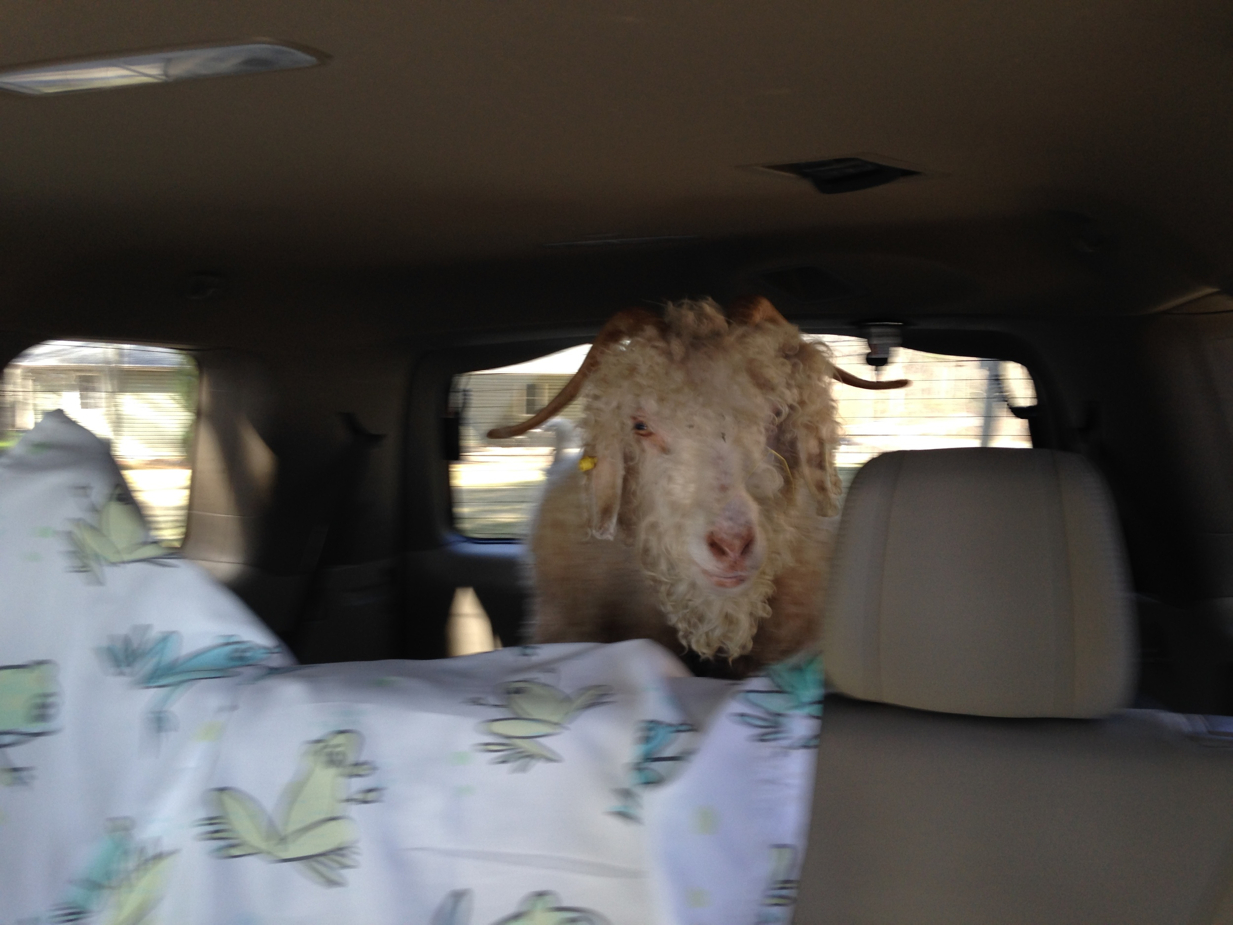 Faith getting a ride to her new home.  WE MISS YOU
