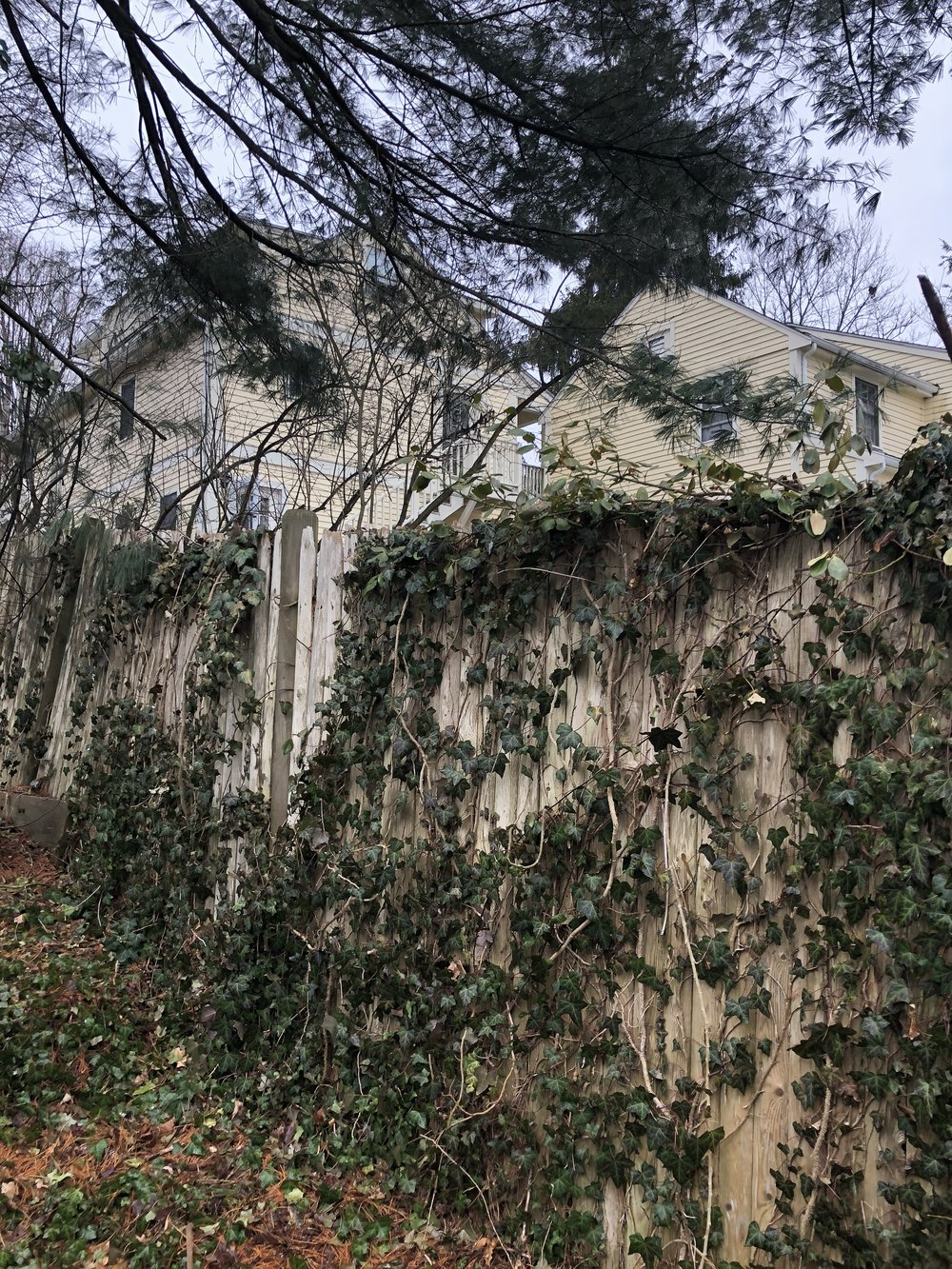 Ivy taking over yard.JPG