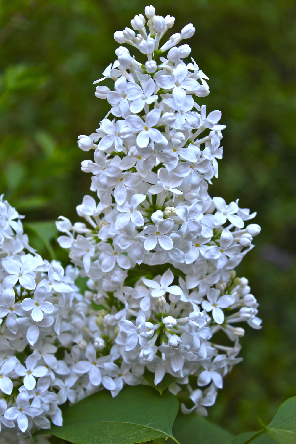 Lilacs in bloom.JPG