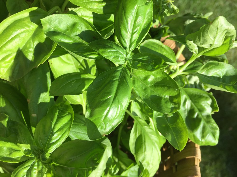 cutting basil