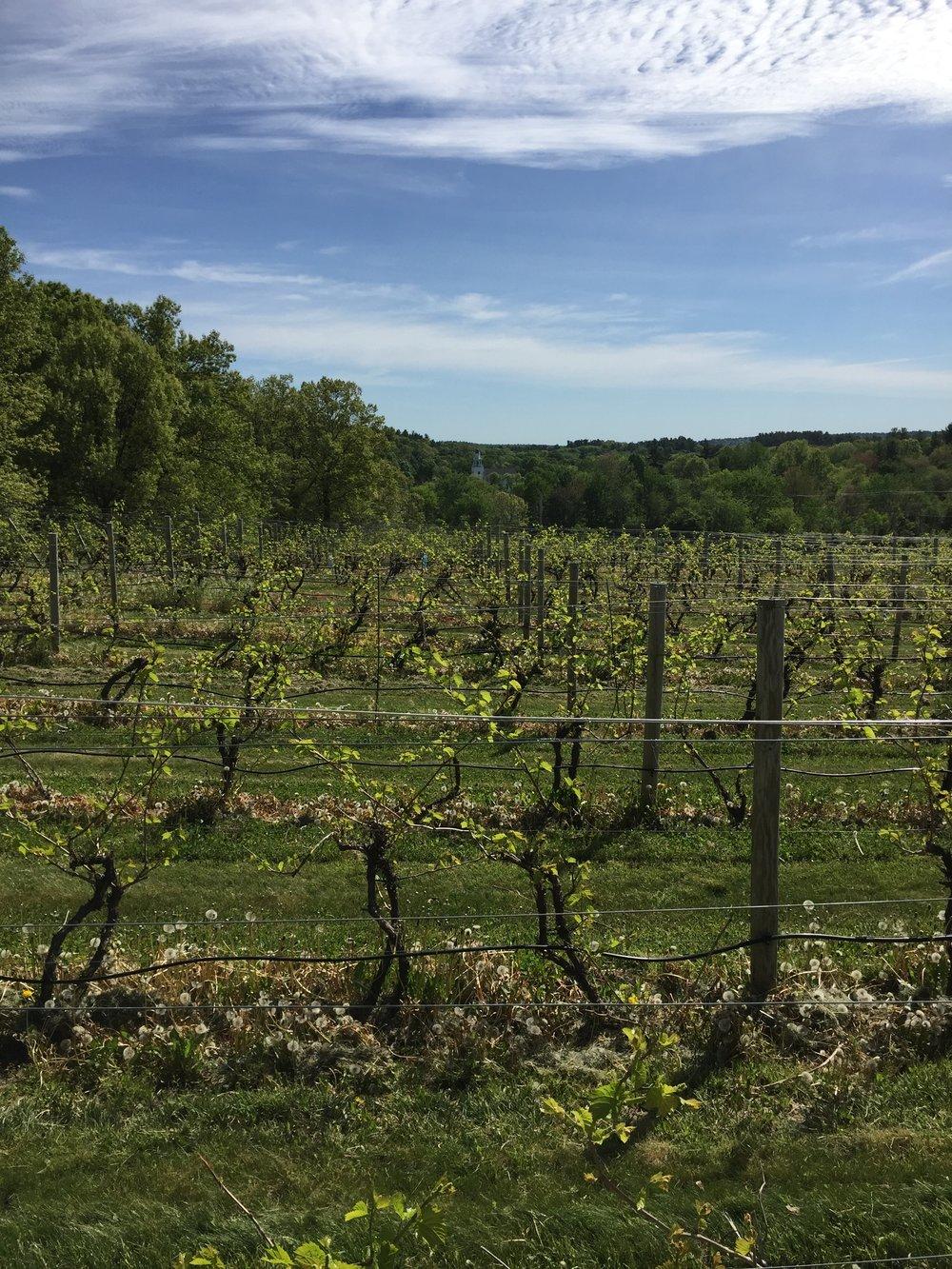 grape vines wineries in New England.jpg