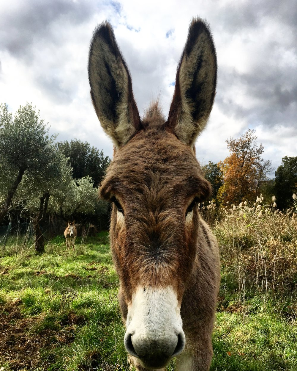 Donkeys in an olive grove at Spannocchia, during our return visit in the fall of 2016.